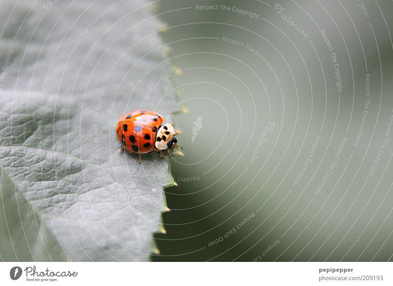 auf schmalem grat Natur grün Pflanze rot Sommer Blatt Tier glänzend nah natürlich niedlich Fressen Käfer Marienkäfer krabbeln Insekt