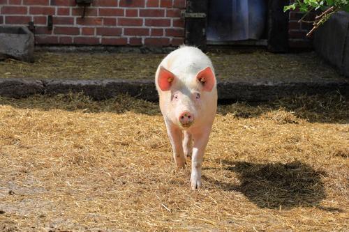 Schwein Ferien & Urlaub & Reisen Umwelt Natur Schweinefleisch Ferkel 1 Tier Umweltschutz Bauernhof bilderberg ferekel Gans ökologisch demeter Gesunde Ernährung