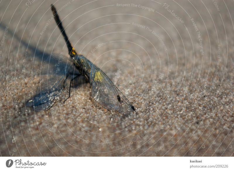 unglück Natur Sand Sommer Libelle Mitgefühl Trauer Tod Erschöpfung Tier Überlebenskampf Flügel leuchten Farbfoto Außenaufnahme Textfreiraum rechts
