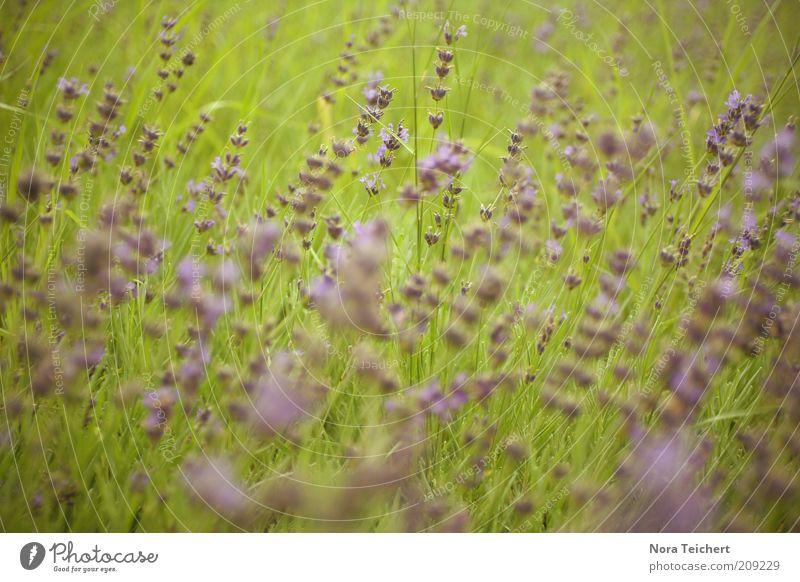 im Wind Umwelt Natur Landschaft Pflanze Frühling Sommer Klima Schönes Wetter Blume Blüte Grünpflanze Wildpflanze Wiese Blühend Duft leuchten träumen Wachstum