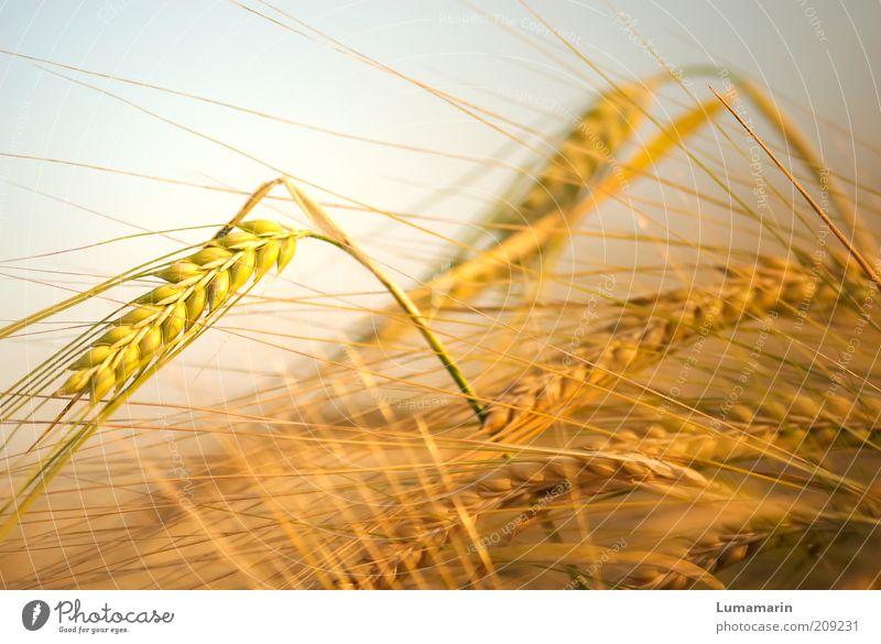 Hochkonjunktur Natur schön Pflanze Sommer gelb Leben Wärme Landschaft Kraft Feld Gesundheit Getreide Umwelt gold Wachstum weich