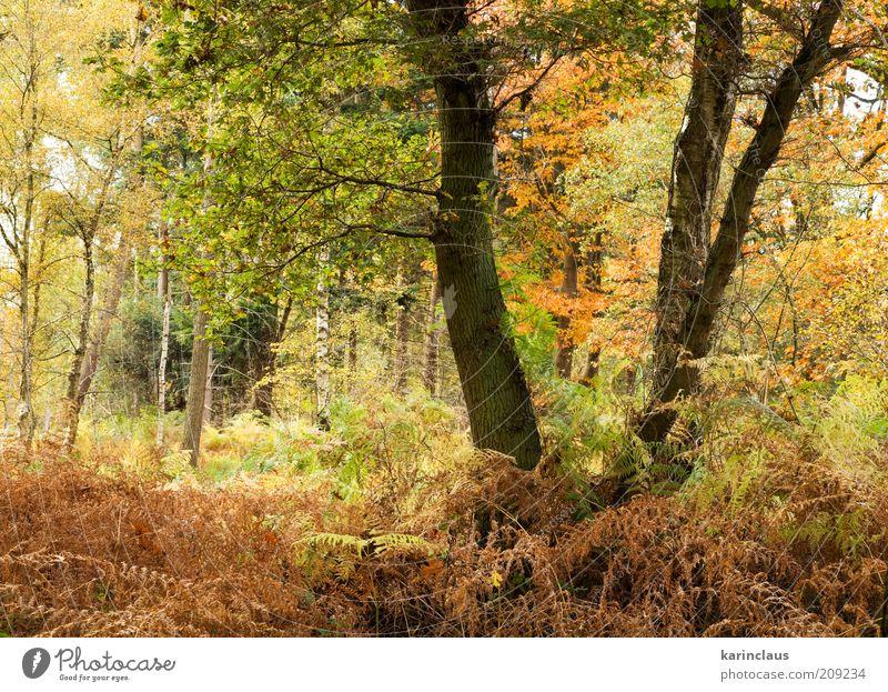 Herbstwald Umwelt Natur Landschaft Pflanze Baum Blatt Park Wald braun gelb grün Hintergrundbild farbenfroh fallen üppig (Wuchs) multi November Oktober orange