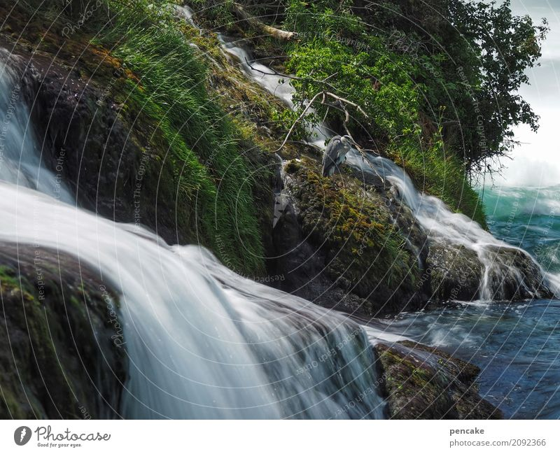 herr strese inspiziert die rheinfälle Natur Landschaft Urelemente Wasser Sommer Schönes Wetter Baum Gras Sträucher Moos Grünpflanze Flussufer Wasserfall