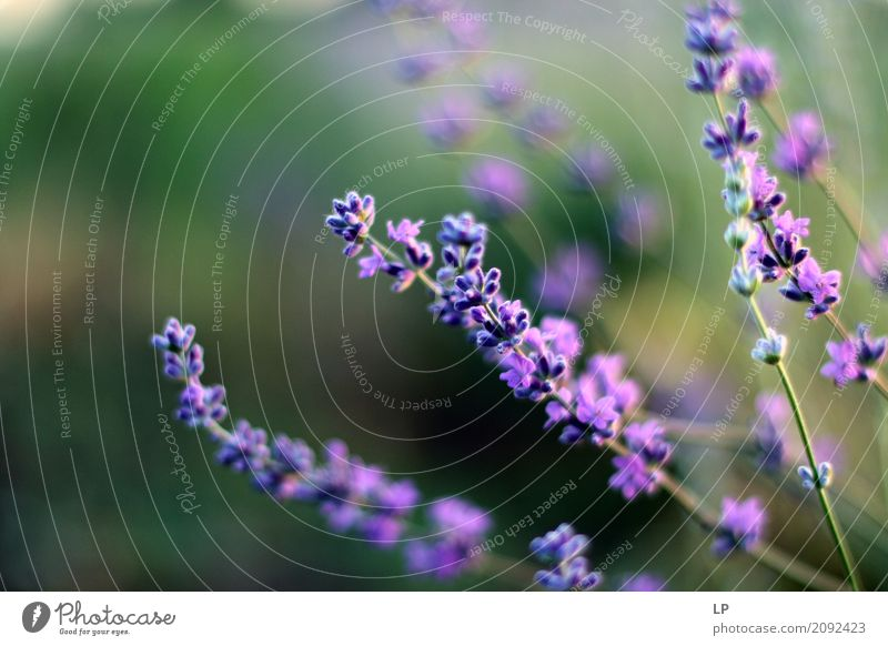 Lavendelblüten im Morgengrauen Natur Ferien & Urlaub & Reisen Erholung ruhig Freude Umwelt Leben Lifestyle Innenarchitektur Gefühle Wiese Hintergrundbild Garten