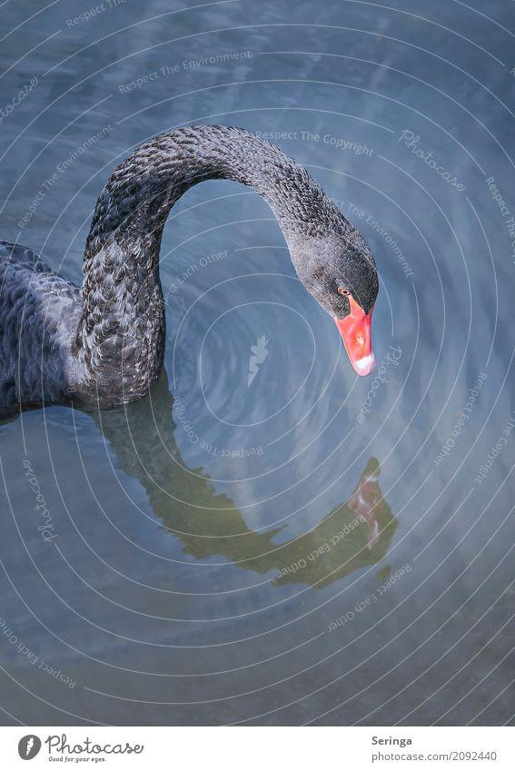 Schwarze Schönheit Natur Pflanze Tier Wasser Teich See Bach Fluss Wildtier Vogel Schwan Tiergesicht Flügel 1 Schwimmen & Baden Trauerschwan Feder Farbfoto