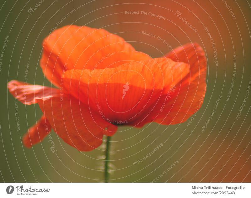 Leuchtende Mohnblume Umwelt Natur Pflanze Sonne Sonnenlicht Schönes Wetter Blume Blüte Wildpflanze Mohnblüte Blütenblatt Blühend leuchtende Farben verblüht