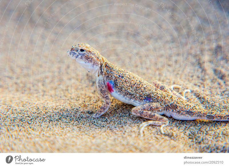 Eidechse im Sand in der Gobi-Wüste, China Leben Ferien & Urlaub & Reisen Ausflug Abenteuer Safari Sommer Sonne Berge u. Gebirge Natur Landschaft Tier Dürre