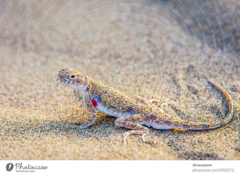 Eidechse im Sand in der Gobi-Wüste, China Natur Ferien & Urlaub & Reisen Sommer Sonne Landschaft Tier Berge u. Gebirge Leben natürlich wild Ausflug Abenteuer