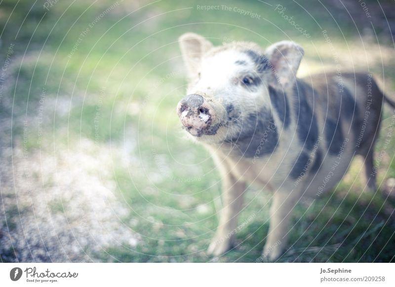 Schinken Tier Tierjunges stehen niedlich Tiergesicht Haustier Schwein Nutztier Schnauze Nachkommen gefleckt drollig Hausschwein Streichelzoo Grunzen