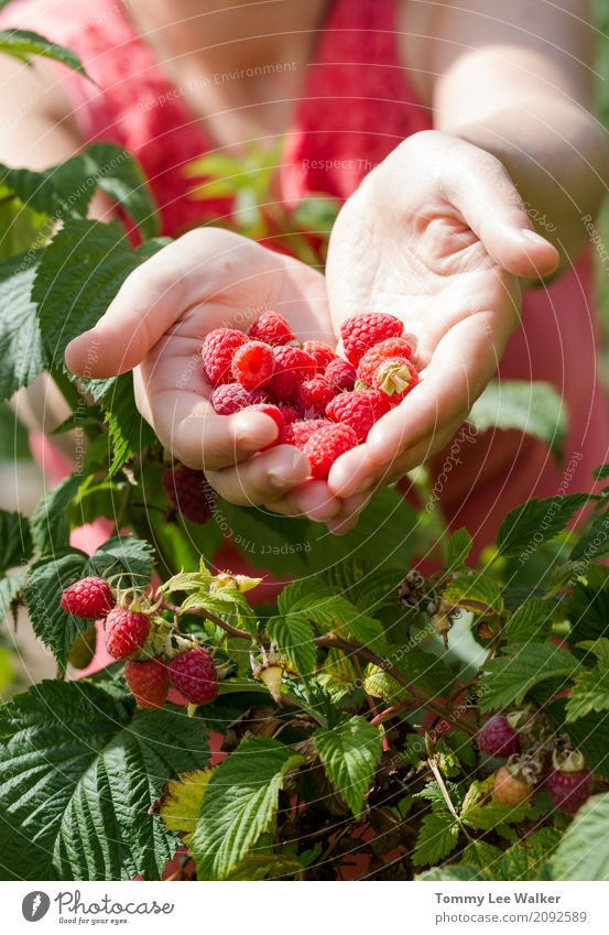Junge Frau teilt frische handverlesene Früchte Frucht Dessert Ernährung Diät Sommer Erwachsene Hand Liebe lecker natürlich rosa rot Tradition Himbeeren Halt