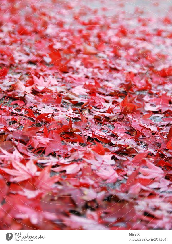 Es herbstelt Natur Herbst Blatt nass Herbstlaub herbstlich Rutschgefahr Farbfoto mehrfarbig Außenaufnahme Menschenleer Froschperspektive Herbstfärbung