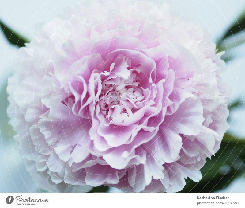 Pfingstrose Pflanze Blume Rose exotisch Natur schön Blüte prächtig Blütenblatt Farbfoto Außenaufnahme Innenaufnahme Nahaufnahme Menschenleer Morgen