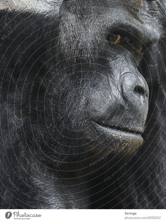 In Gedanken Tier Gesicht braun nachdenklich Wildtier gefährlich beobachten Fell Gesichtsausdruck Tiergesicht Zoo gefangen Affen Gorilla Gesichtsausschnitt