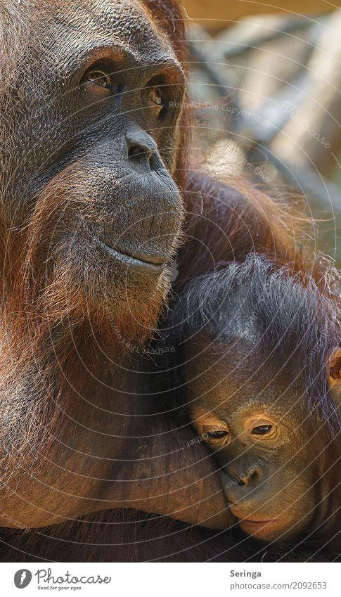 Traute Zweisamkeit und Geborgenheit Tier Wildtier Tiergesicht Fell Zoo 1 Umarmen Affen braun Gorilla Farbfoto mehrfarbig Außenaufnahme Detailaufnahme