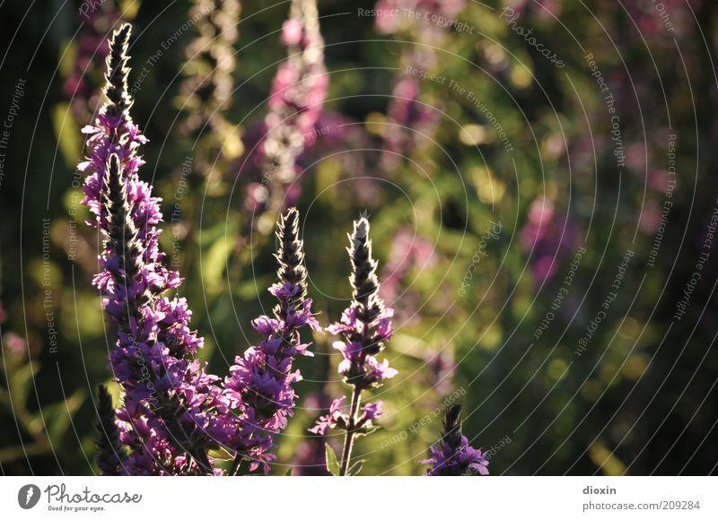 summer flower light - Lythrum salicaria (2) Umwelt Natur Pflanze Sommer Blume Blüte Wildpflanze Stauden Stengel Blutweiderich Blühend Duft Wachstum schön grün