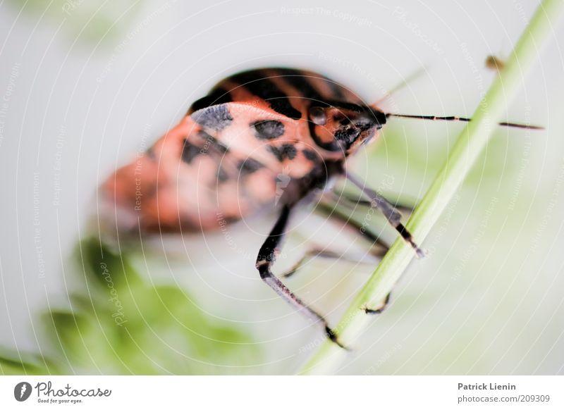 festgehalten Umwelt Natur Pflanze Tier Sommer Wildtier Käfer Tiergesicht 1 hängen festhalten Blick rot Mitte lustig groß Fühler Insekt Halm streifenwanze