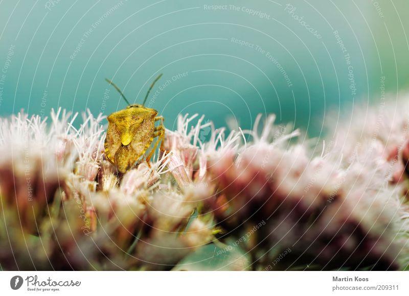 Wunderbare Wanze Natur Pflanze Tier eckig exotisch gelb gold Insekt Käfer Blume Fühler Panzer sitzen Geruch stinkend Biologie Schädlinge Farbfoto mehrfarbig