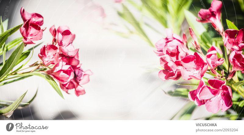 Blühender Oleander Stil Design Sommer Garten Natur Pflanze Blume Blatt Blüte Park Fahne Liebe rosa Hintergrundbild rot Nahaufnahme Blütenpflanze Blütenknospen