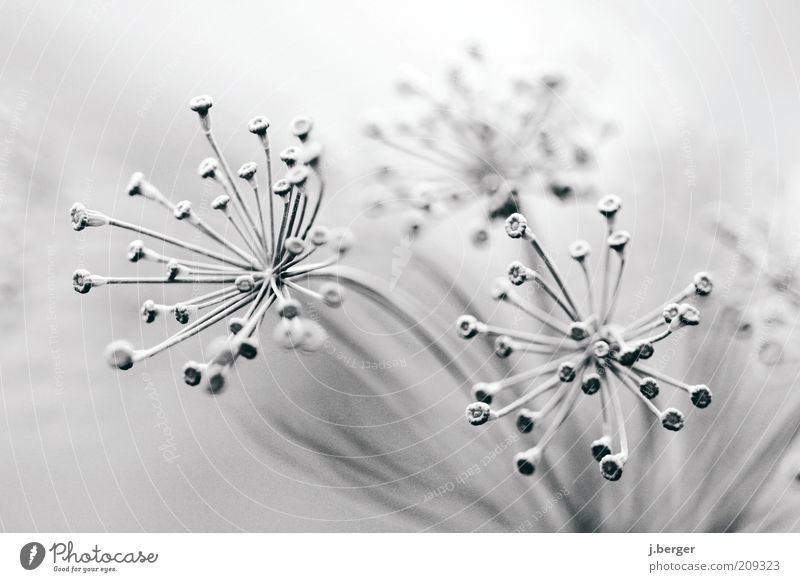 Blüte - Dolden - Nahaufnahme weiß schön Pflanze Blume Winter schwarz Herbst grau Linie hell Kunst Eis Schwarzweißfoto ästhetisch außergewöhnlich