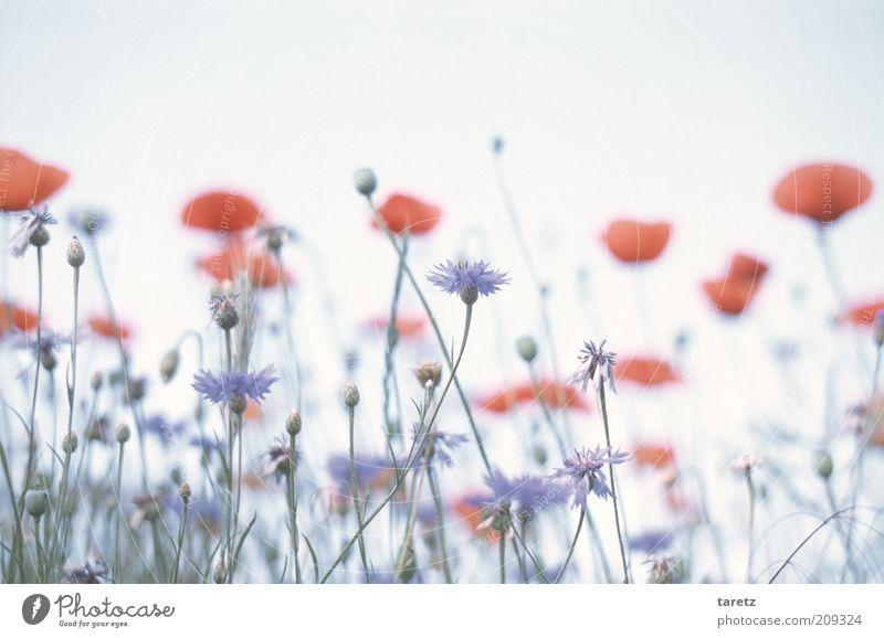 Kornblumen Umwelt Natur Pflanze ästhetisch blau rot Mohnblüte Mohnfeld sanft weich fantastisch Surrealismus ruhig Blumenwiese Duft malerisch Idylle hell Sommer