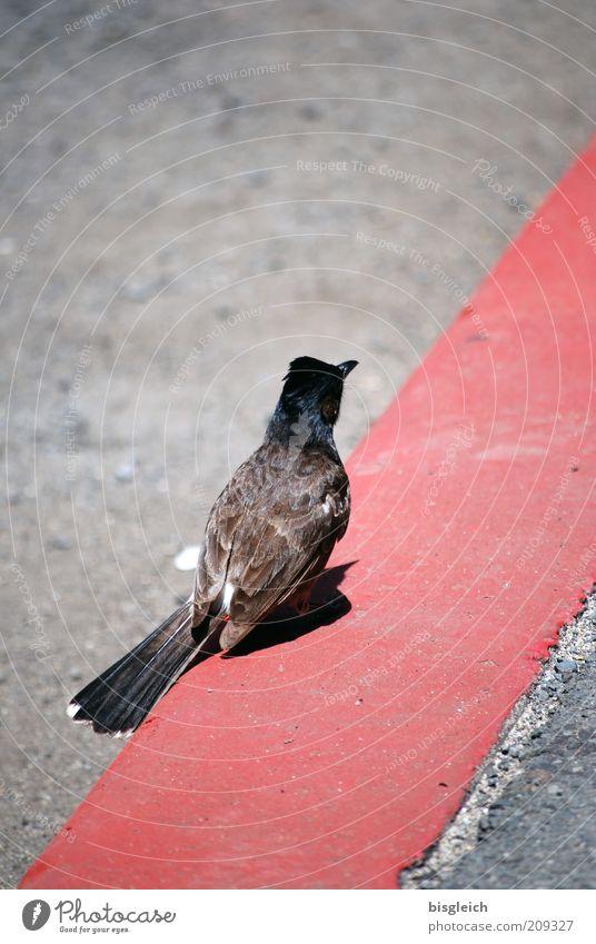 Bordsteinvogel rot Tier Straße grau Linie Vogel warten rosa Beton sitzen Feder Streifen
