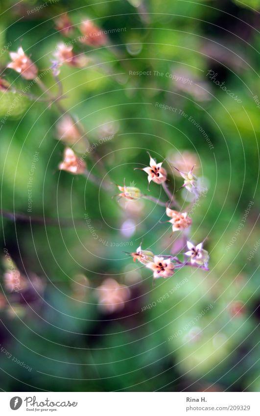 Hoffnung II Natur Pflanze Sommer Blume verblüht authentisch trocken grün rosa Gefühle Lebensfreude Vergänglichkeit Akelei Farbfoto Außenaufnahme Menschenleer