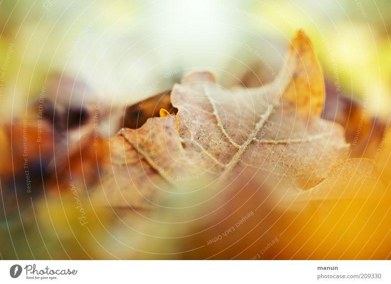 Laub Natur schön Blatt gelb Herbst braun hell Umwelt gold Vergänglichkeit natürlich Herbstlaub herbstlich Herbstfärbung Herbstbeginn