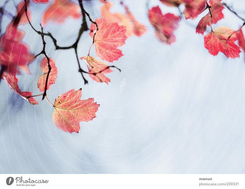 Ahornlaub Himmel Natur blau schön rot Blatt Umwelt Herbst außergewöhnlich hell Wachstum frisch Ast Vergänglichkeit Zweig Umweltschutz