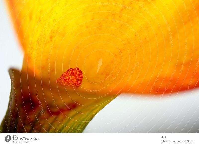 orange elegance Natur Pflanze Sommer Blume Blüte exotisch Calla ästhetisch Duft elegant frisch schön natürlich gelb gold rot einzigartig zantedeschia Stempel
