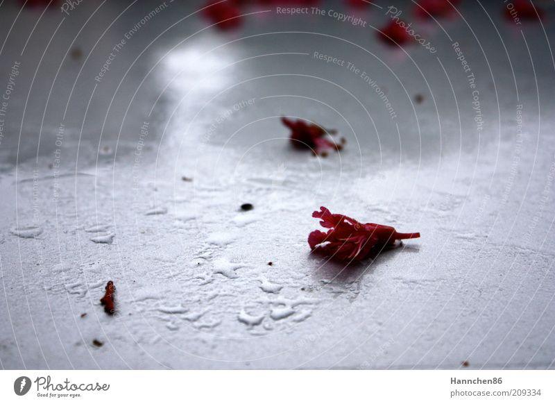 Rosa auf Weiß alt weiß Blume Pflanze rot Blüte Regen nass Wassertropfen Rose kaputt Wandel & Veränderung Duft einzeln welk