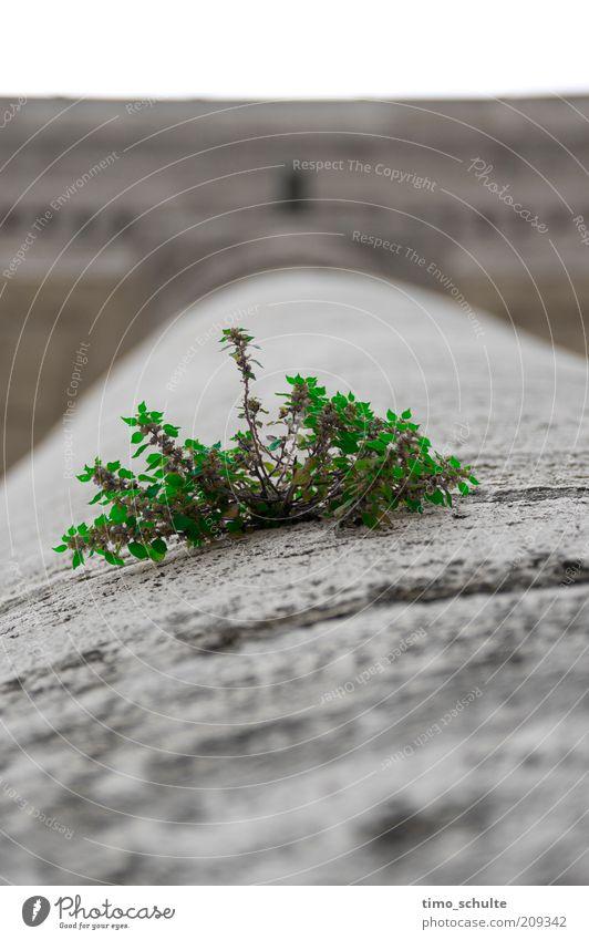 Strauch auf Säule Stadt grün Pflanze grau Stein Umwelt Beton Wachstum Sträucher einzigartig außergewöhnlich Grünpflanze Betonwand Steinwand