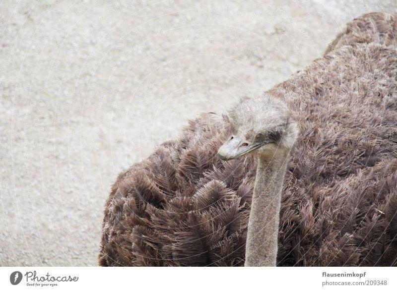 struthio camelus Sommer ruhig Tier Kopf grau braun Vogel warten Feder Tiergesicht beobachten Zoo Gelassenheit Neugier Wildtier Hals