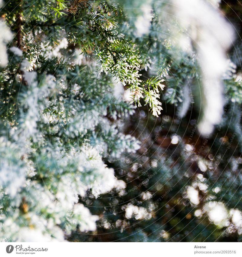 Frierstück Pflanze Winter Schönes Wetter Eis Frost Schnee Baum Sträucher Wacholder Zweige u. Äste frieren frisch kalt grün weiß Erfrischung Farbfoto