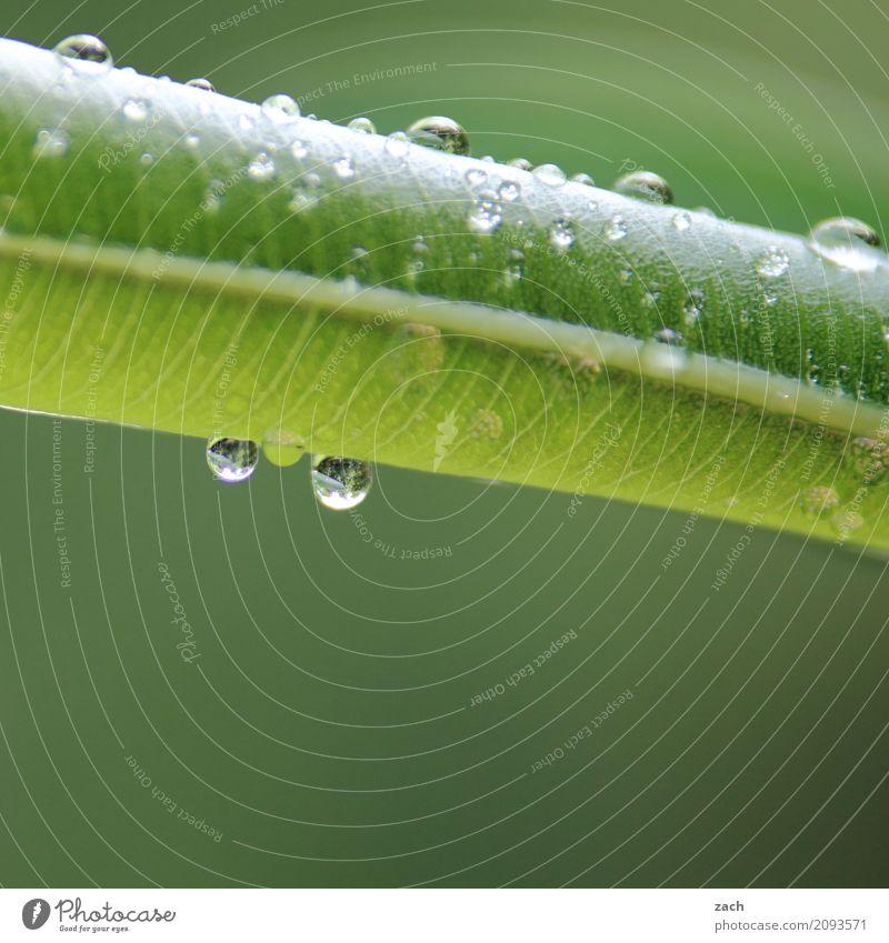 Tropfenhochzeit Pflanze Wasser Wassertropfen Frühling Sommer schlechtes Wetter Regen Blume Sträucher Blatt Grünpflanze Oleander frisch nass grün Farbfoto
