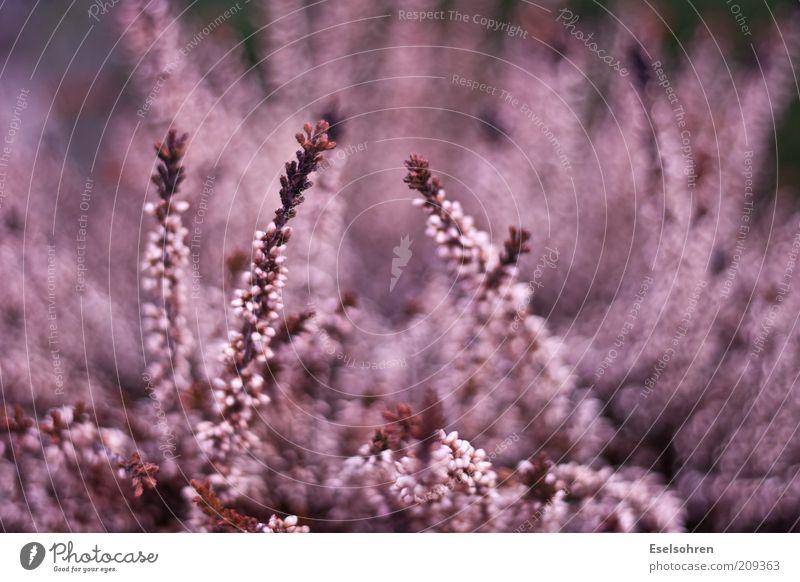 wildfire Natur Blume Pflanze rot Sommer Farbe rosa violett chaotisch Wildpflanze Blütenstauden