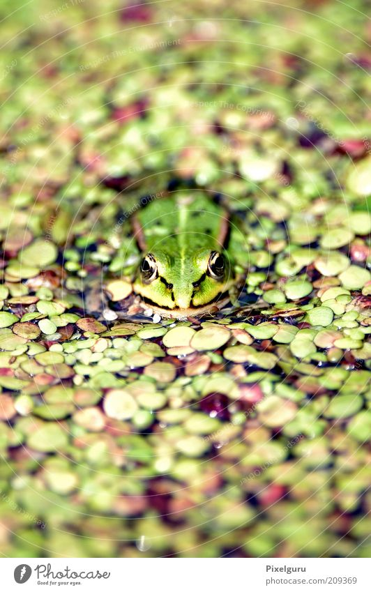 Wasserfrosch Tier Wildtier Frosch 1 nass natürlich grün Natur Farbfoto Außenaufnahme Nahaufnahme Textfreiraum oben Textfreiraum unten Tag Schwache Tiefenschärfe