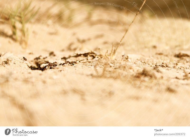 Wüstenkinder Tier Sand Tiergruppe Ameise karg Unschärfe emsig