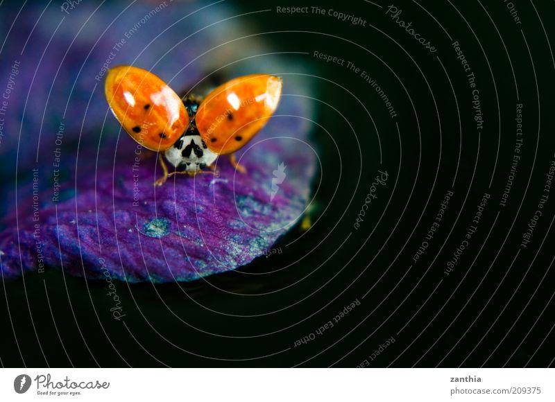 Startposition Blüte Tier Flügel Marienkäfer 1 fliegen krabbeln natürlich violett rot schwarz Bewegung Natur Umwelt zierlich Farbfoto Nahaufnahme Makroaufnahme