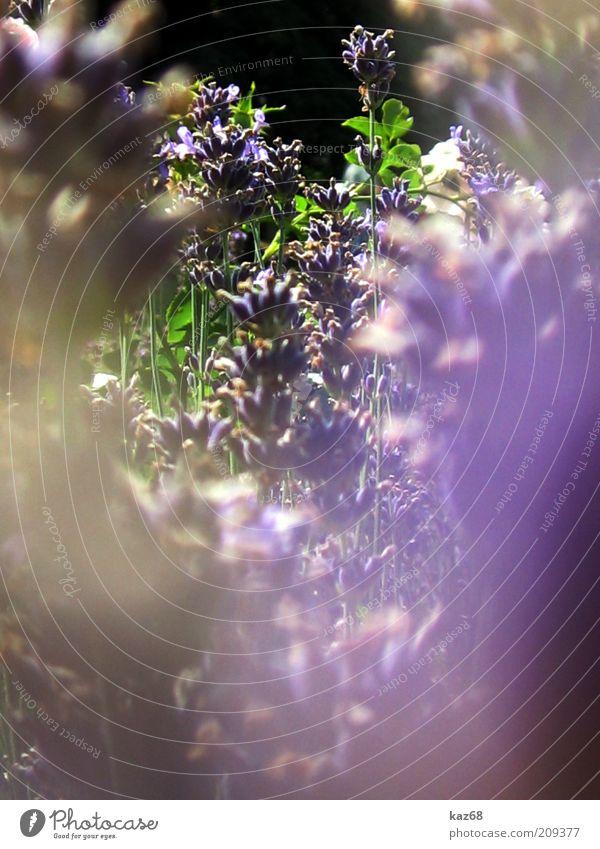 lila Sommer Umwelt Natur Pflanze Blume Sträucher Blüte Blühend Wachstum ästhetisch Duft natürlich schön Wärme grün violett Farbfoto Sonnenlicht Blütenstauden