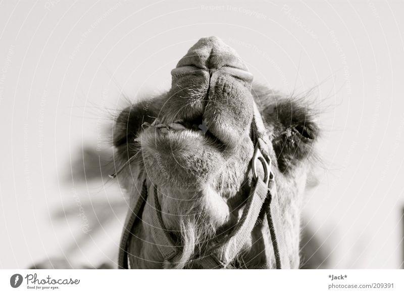 Kamele sind nicht dumm Tier Nase Tiergesicht genießen Geruch Fressen Maul Schnauze Schwarzweißfoto bissig Wittern