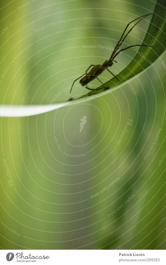 Streckerspinne Natur grün Tier Gras Frühling Umwelt dünn lang Wildtier Halm Spinne krabbeln Makroaufnahme Spinnenbeine Streckerspinne