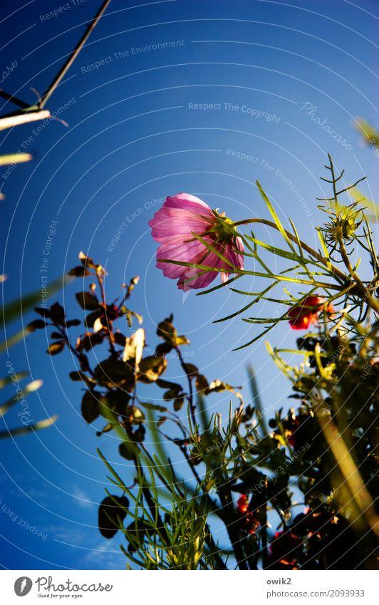 Cosmetik Umwelt Natur Pflanze Wolkenloser Himmel Sommer Blume Blüte Schmuckkörbchen Garten Blühend Duft leuchten Wachstum blau grün violett rot Lebensfreude