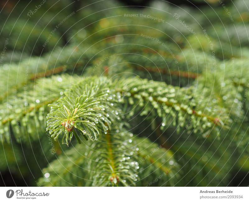 Tannenzweig Sommer Weihnachten & Advent Natur Baum schön young trees natural pine season needle coniferous beauty fir-tree fresh wood growth seasonal vibrant