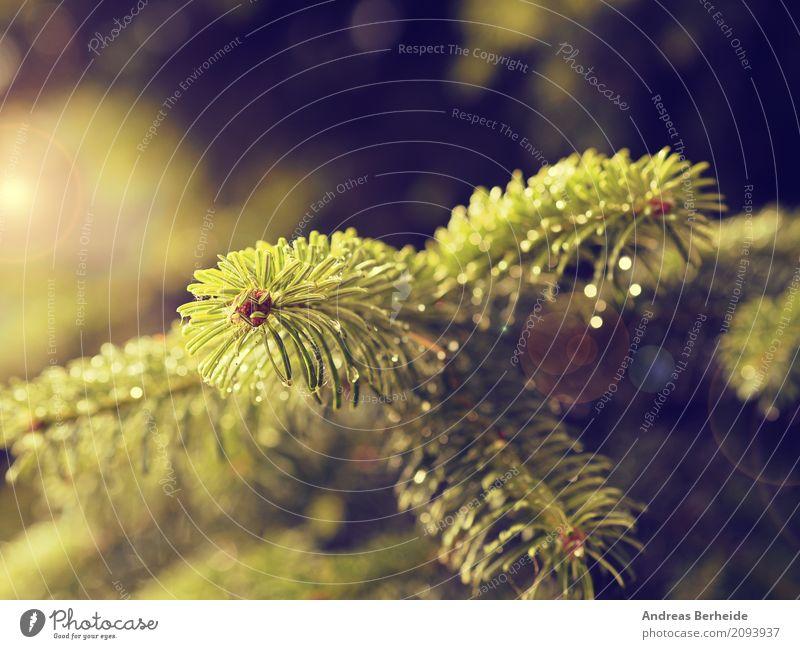 Tannenzweig im Morgenlicht Sommer Weihnachten & Advent Natur Sonnenaufgang Sonnenuntergang Park Wald nass schön evergreen fir fir-tree forest fresh growth lush