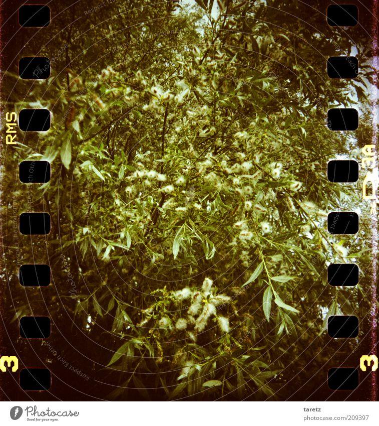 Puschelbusch Umwelt Natur Pflanze Baum Sträucher grün buschig durcheinander Blüte groß natürlich Vignettierung Urwald Filmperforation Farbfoto Außenaufnahme