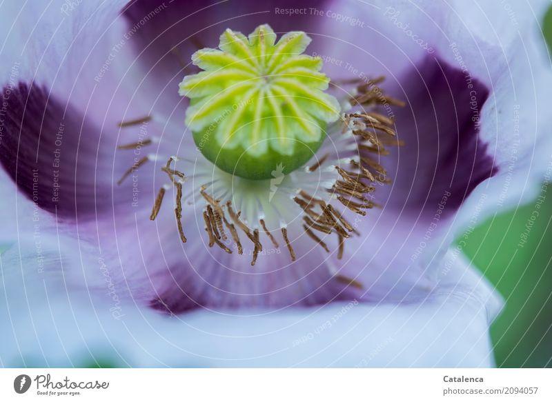 Lila Natur Pflanze Sommer Blume Blüte Mohnblüte Garten Blühend verblüht ästhetisch gelb grün violett schön Leben Vergänglichkeit Wandel & Veränderung