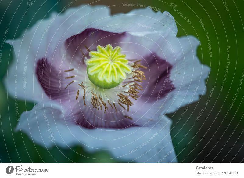 Montagsmohn rosa Natur Pflanze Sommer grün Blume gelb Blüte Garten braun Stimmung Design ästhetisch Blühend Vergänglichkeit Wandel & Veränderung