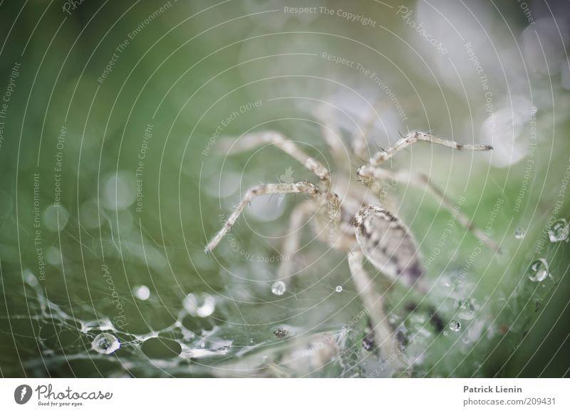 Labyrinthspinne Umwelt Natur Tier Wassertropfen Sommer Regen Wildtier Spinne 1 beobachten Bewegung fangen Fressen Jagd krabbeln ästhetisch bedrohlich Ekel klein