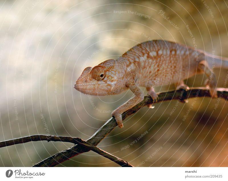Mein Freund der Glubschi Natur schön Auge Tier gelb orange Wandel & Veränderung Ast Zoo exotisch Zweig Reptil Chamäleon orange-rot