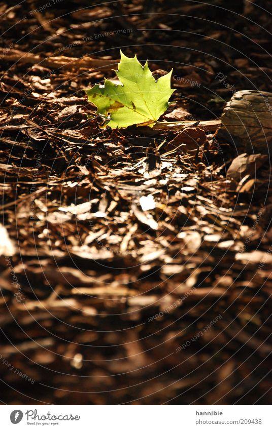 einsames grün Natur Pflanze Erde Schönes Wetter Blatt Park Wärme braun ruhig Stimmung Ahornblatt Rindenmulch Mulch Waldboden Beleuchtung leuchten Sonnenstrahlen